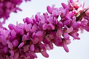 Blüte des Judasbaums