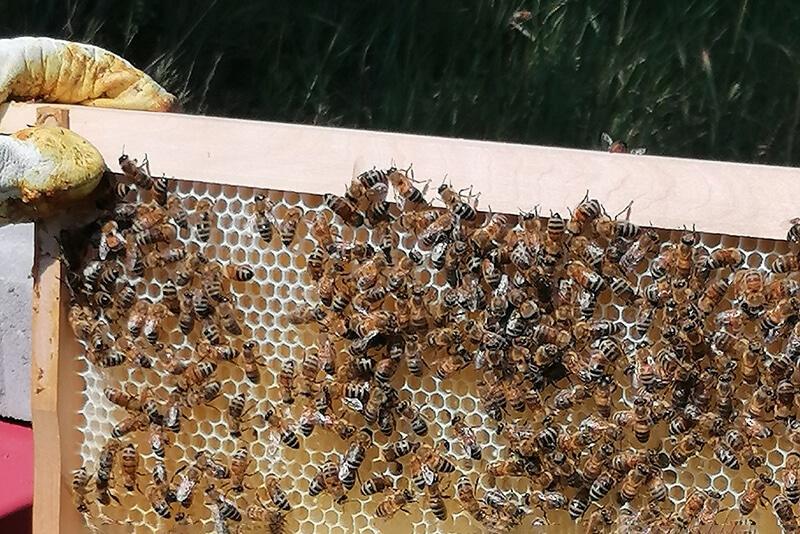 Bienen auf dem Rahmen